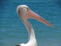 Nära övre för pelikan Royaltyfria Bilder
