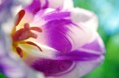 Nära övre för purpurfärgad tulpan naturlig purpurfärgad bakgrund royaltyfria bilder