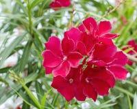 Nära övre för röd blomma arkivbilder