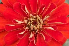 Nära övre för röd blomma Royaltyfri Bild
