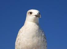 Nära övre för Seagull Royaltyfri Bild