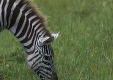 Nära övre för sebra och att äta gräs som visar man stående övre Royaltyfria Foton
