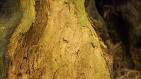 Nära övre för träd, botten upp, trädskäll som bakgrund, 4K arkivfilmer
