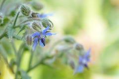 Nära övre foto av en borageväxt, ett mjukt ljus och färger fotografering för bildbyråer