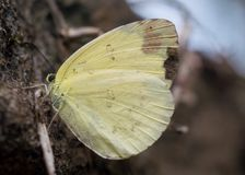 Nära övre foto av en gul fjäril arkivfoto