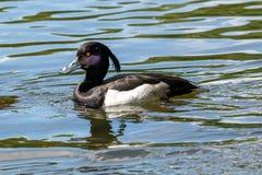 Nära övre foto av Tufted simning för andAythyafuligula i ett damm royaltyfri fotografi