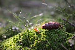 Nära övre grankotte i skogen som ligger på grön mossa och gräs Perfekt bakgrund, bokeh, utrymme för text royaltyfri fotografi