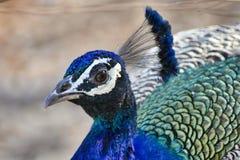 Nära övre headshot för påfågel av påfågeln royaltyfri foto