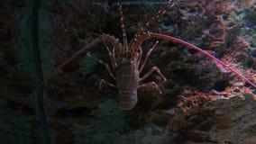 Nära övre hummer i fiskbehållare lager videofilmer