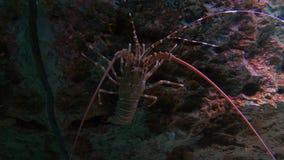 Nära övre hummer i fiskbehållare arkivfilmer