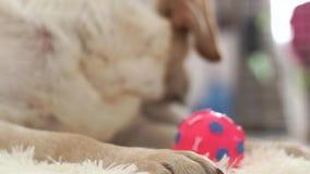 Nära övre huvud av den beigea labrador hunden som ligger på golv med bollen och ser in i kamera Tysta ned och den näslabrador hun arkivfilmer