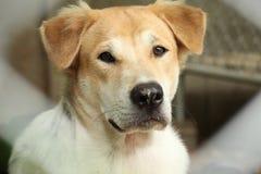 Nära övre huvudnos av den utomhus- härliga unga thailändska hunden fotografering för bildbyråer
