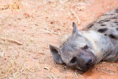 Nära övre Hyenas kopplar av på jorden Royaltyfria Foton