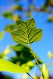 Nära övre leaf Royaltyfri Foto