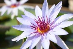 Nära övre lotusblomma Fotografering för Bildbyråer