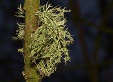 Nära övre makro som skjutas av den gröna laven - UK fotografering för bildbyråer