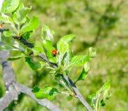 Nära övre nyckelpiga på det gröna bladet på trädfilial arkivfoto