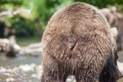 Nära övre röv av den lösa brunbjörngrisslybjörnen royaltyfri bild