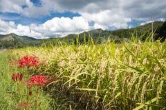 Nära övre rice sätter in arkivbilder