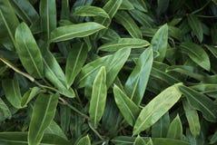 Nära övre sidor för Philodendron Arkivbilder