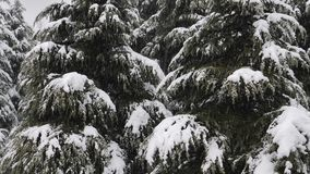 Nära övre sikt av snö som faller på granträdfilialerna Snö faller från sörjer trädfilialen i en skog stock video