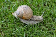 Nära övre sikt av snigeln på isolerat grönt gräs H?rliga naturbakgrunder arkivfoton