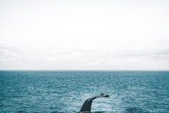 Nära övre sikt av svansen av puckelryggvalet som hoppar i kalla vattnet av Atlantic Ocean i Island Begrepp av valet fotografering för bildbyråer