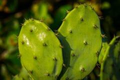 Nära övre skott av kaktussidor arkivbilder