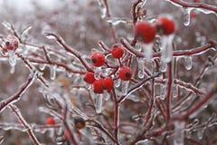 Nära övre skott av solated ljusa röda nyponbär och trädfilialer som täckas med is efter en storm för frysa regn royaltyfria foton