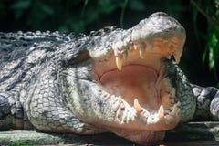 Nära övre skott av stort vitt lura för för sungeibuaya eller krokodil royaltyfri bild
