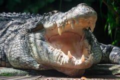 Nära övre skott av stort vitt lura för för sungeibuaya eller krokodil royaltyfria foton