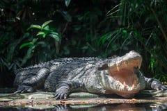 Nära övre skott av stort vitt lura för för sungeibuaya eller krokodil royaltyfri foto