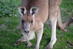 Nära övre stående av den östliga gråa kängurun royaltyfri fotografi