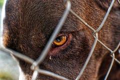 Nära övre stående av den Caged gulliga labradoren arkivbild