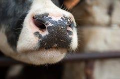 Nära övre stående av den svartvita kon, våt näsa för kor royaltyfria foton