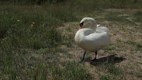 Nära övre stående av den vita svanen som går på grönt gräs stock video