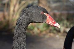 Nära övre stående av en svart svan med den röda näbb och röda ögon royaltyfria foton