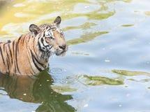Nära övre tiger i zooen Arkivbild