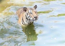 Nära övre tiger i zooen Royaltyfria Bilder