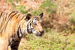 Nära övre tiger i zooen Fotografering för Bildbyråer