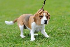 Nära beaglehund Arkivbild