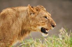 Nära bild av en lejoninna Royaltyfri Fotografi