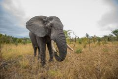 Nära elefantmöte royaltyfria foton