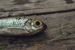 Nära fisk Arkivfoto