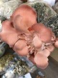 Nära foto av den rosa ostronchampinjonen Royaltyfria Foton