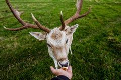 Nära möte med en hjort Royaltyfri Fotografi