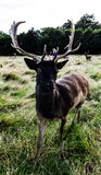 Nära möte med en hjort Arkivbilder