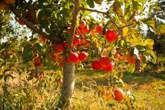 Nära sikt av äppleträdet med frukter fotografering för bildbyråer