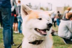 Nära sikt av Akita Dog Or Akita Inu, japan Akita Outdoor le Fotografering för Bildbyråer