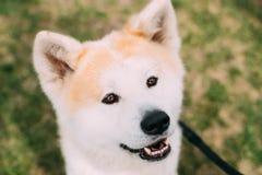 Nära sikt av Akita Dog Or Akita Inu, japan Akita Outdoor le för hund Arkivbild